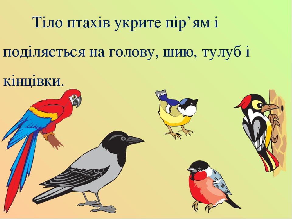 Тіло птахів укрите пір'ям і поділяється на голову, шию, тулуб і кінцівки.