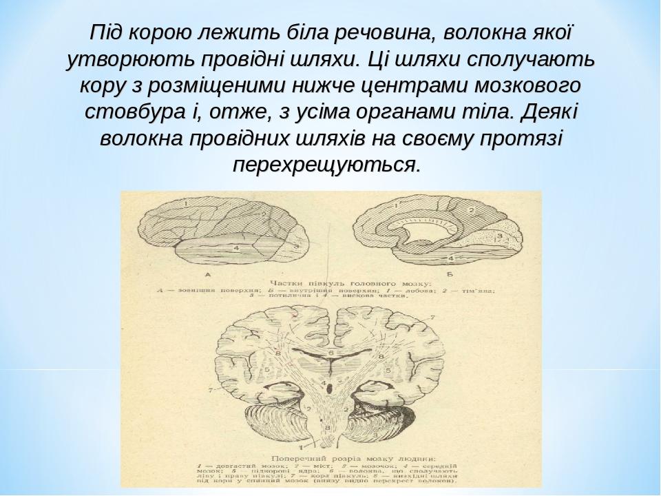 Під корою лежить біла речовина, волокна якої утворюють провідні шляхи. Ці шляхи сполучають кору з розміщеними нижче центрами мозкового стовбура і, ...