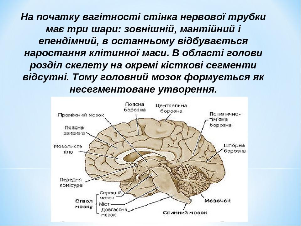 На початку вагітності стінка нервової трубки має три шари: зовнішній, мантійний і епендімний, в останньому відбувається наростання клітинної маси. ...