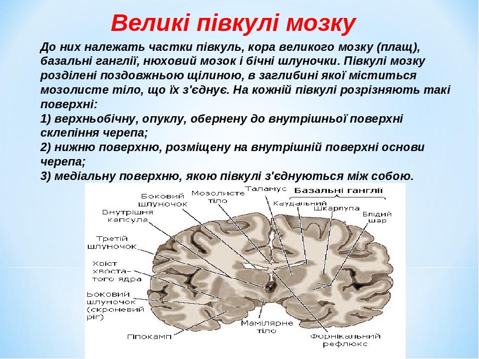 Великі півкулі мозку До них належать частки півкуль, кора великого мозку (плащ), базальні ганглії, нюховий мозок і бічні шлуночки. Півкулі мозку ро...