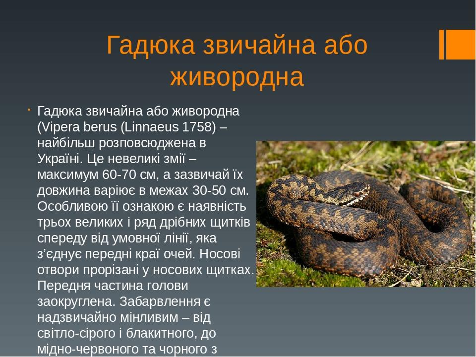Гадюка звичайна або живородна Гадюка звичайна або живородна (Vipera berus (Linnaeus 1758) – найбільш розповсюджена в Україні. Це невеликі змії – ма...