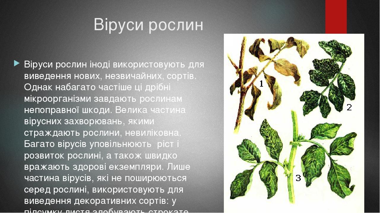 Віруси рослин Віруси рослин іноді використовують для виведення нових, незвичайних, сортів. Однак набагато частіше ці дрібні мікроорганізми завдають...