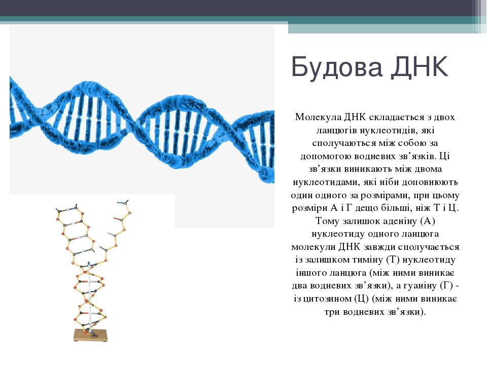 Будова ДНК Молекула ДНК складається з двох ланцюгів нуклеотидів, які сполучаються між собою за допомогою водневих зв'язків. Ці зв'язки виникають мі...