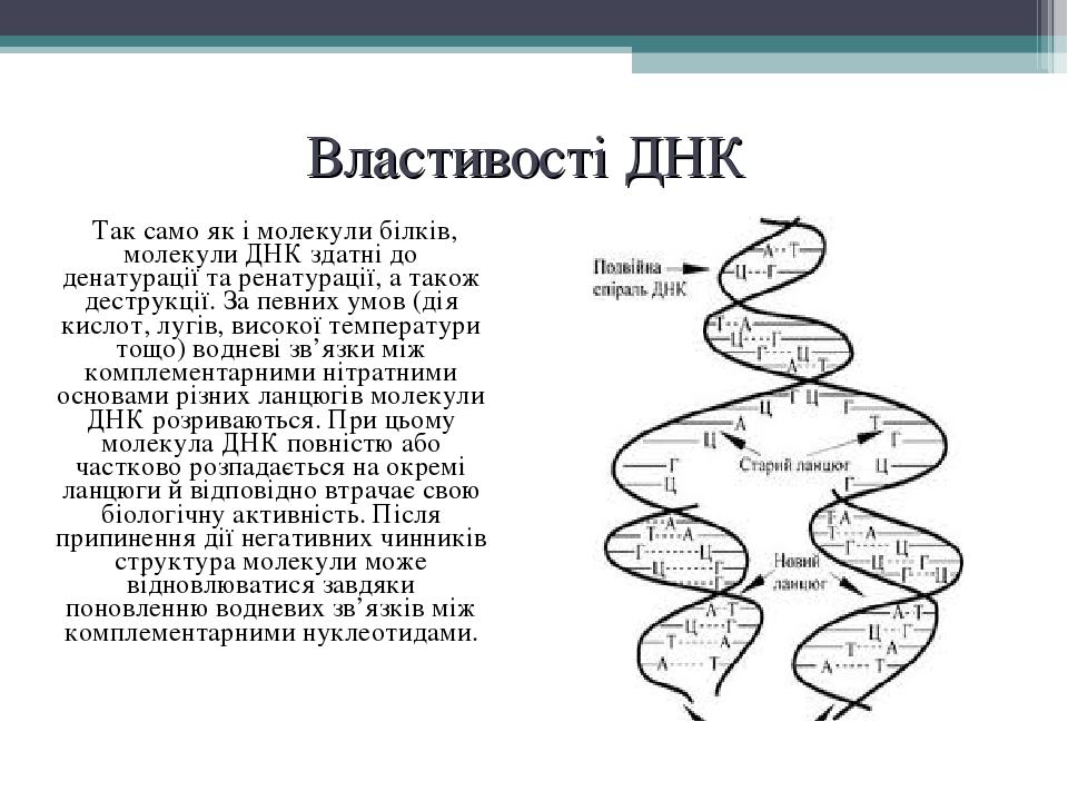 Властивості ДНК Так само як і молекули білків, молекули ДНК здатні до денатурації та ренатурації, а також деструкції. За певних умов (дія кислот, ...
