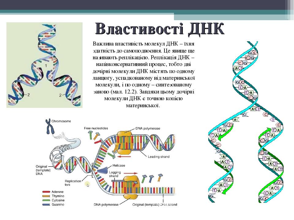 Властивості ДНК Важлива властивість молекул ДНК – їхня здатність до самоподвоєння. Це явище ще називають реплікацією. Реплікація ДНК – напівконсерв...