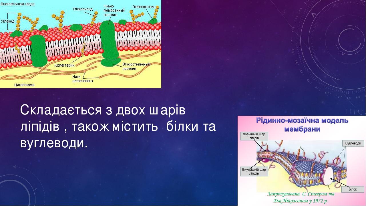 Складається з двох шарів ліпідів , також містить білки та вуглеводи.