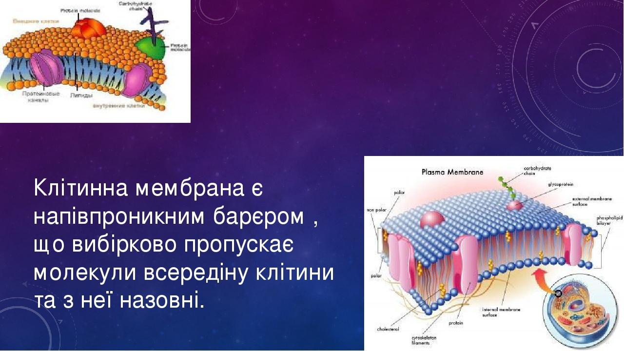 Клітинна мембрана є напівпроникним барєром , що вибірково пропускає молекули всередіну клітини та з неї назовні.