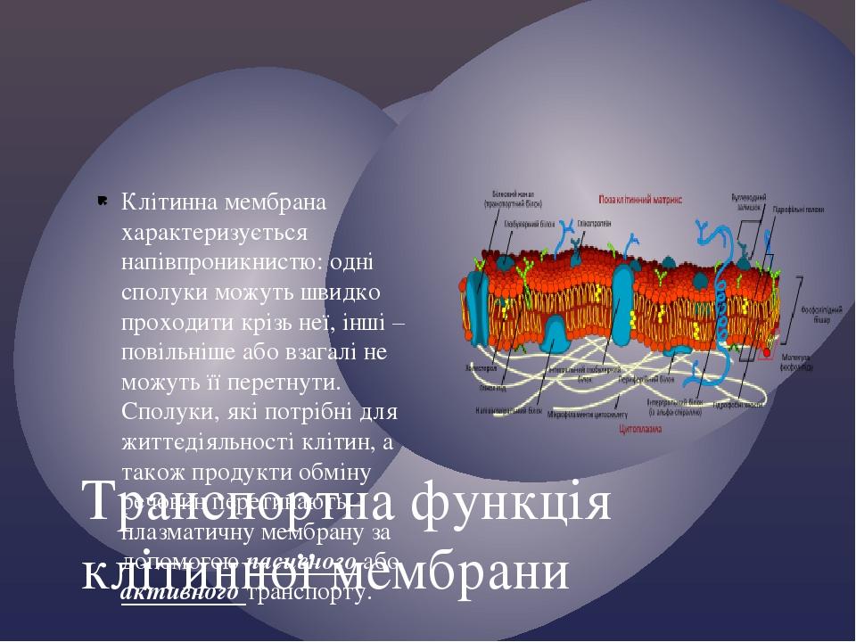 Клітинна мембрана характеризується напівпроникнистю: одні сполуки можуть швидко проходити крізь неї, інші – повільніше або взагалі не можуть її пер...