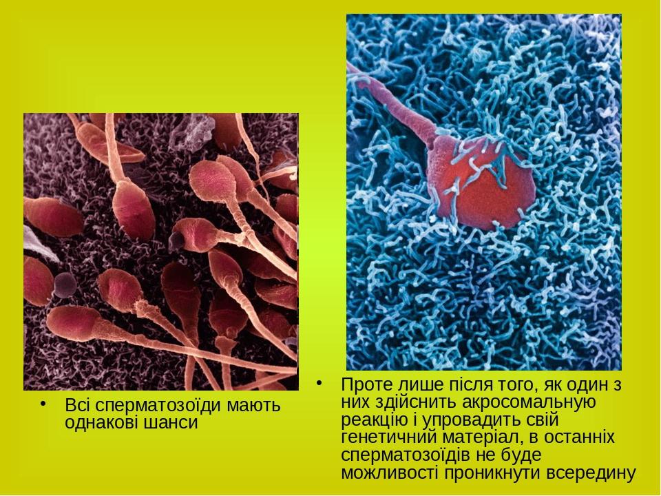 Всі сперматозоїди мають однакові шанси Проте лише після того, як один з них здійснить акросомальную реакцію і упровадить свій генетичний матеріал, ...