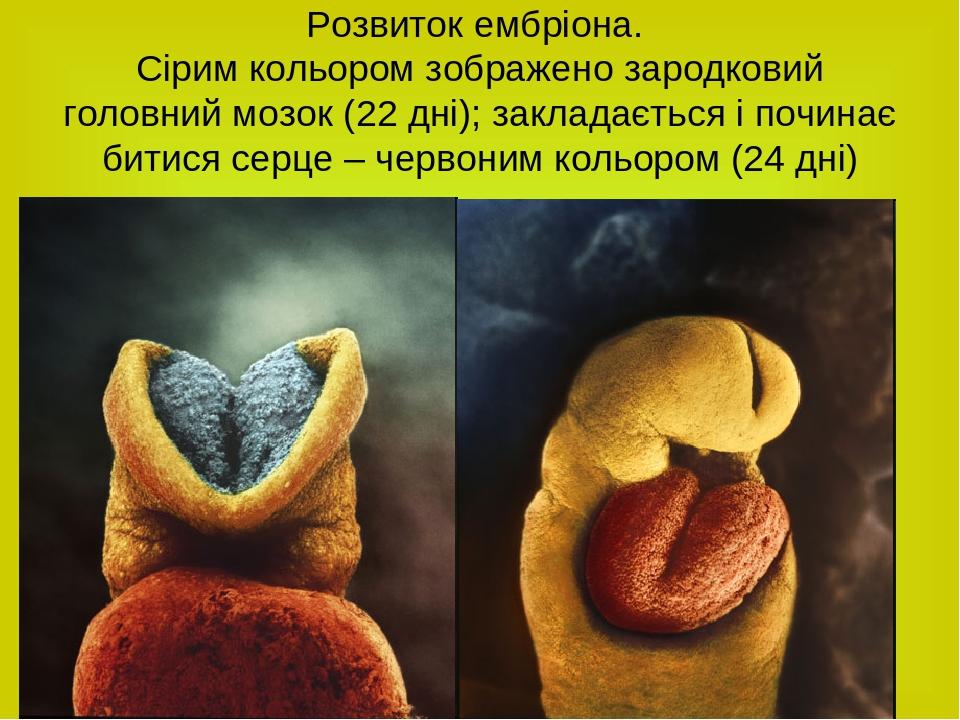 Розвиток ембріона. Сірим кольором зображено зародковий головний мозок (22 дні); закладається і починає битися серце – червоним кольором (24 дні)