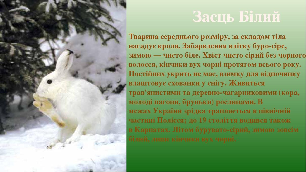 Заєць Білий Тварина середнього розміру, за складом тіла нагадує кроля. Забарвлення влітку буро-сіре, зимою— чисто біле. Хвіст чисто сірий без чорн...