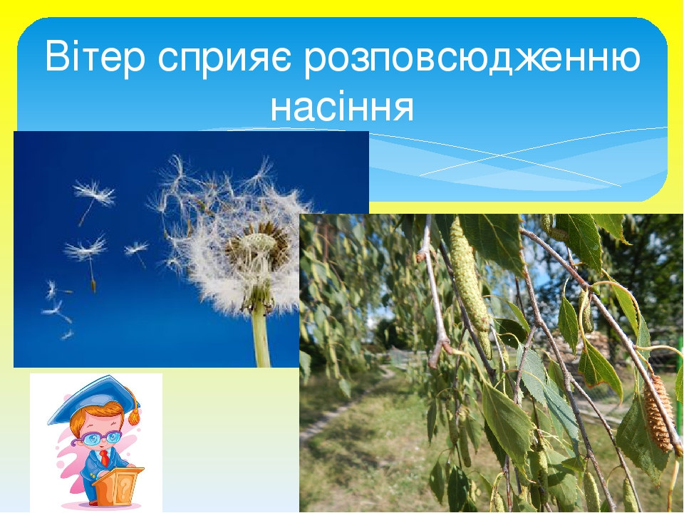 Вітер сприяє розповсюдженню насіння