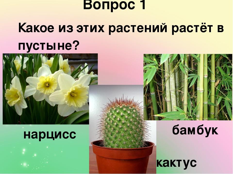 Какое из этих растений растёт в пустыне? Вопрос 1 нарцисс бамбук кактус