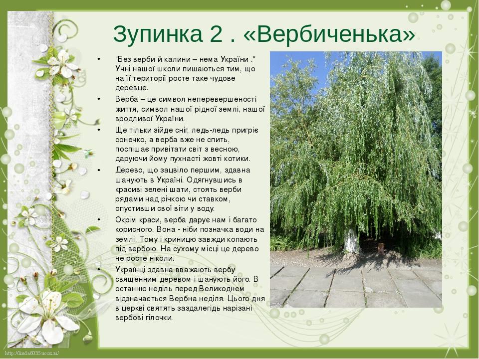 """Зупинка 2 . «Вербиченька» """"Без верби й калини– нема України ."""" Учні нашої школи пишаються тим, що на її території росте таке чудове деревце. Верба..."""