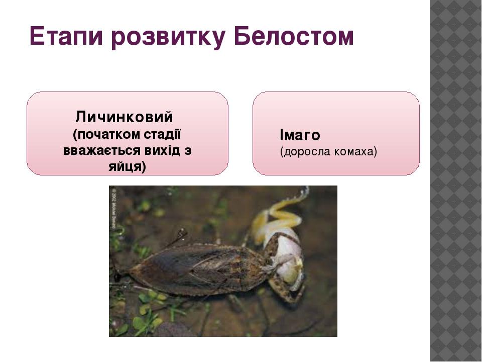 Етапи розвитку Белостом Личинковий (початком стадії вважається вихід з яйця) Імаго (доросла комаха)