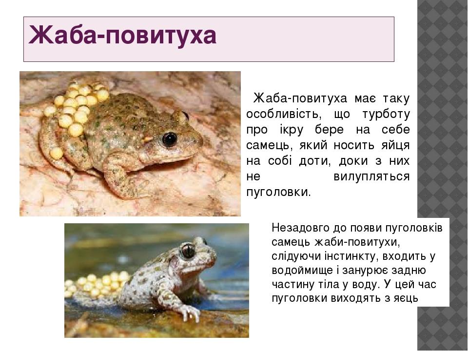 Жаба-повитуха Жаба-повитуха має таку особливість, що турботу про ікру бере на себе самець, який носить яйця на собі доти, доки з них не вилупляться...
