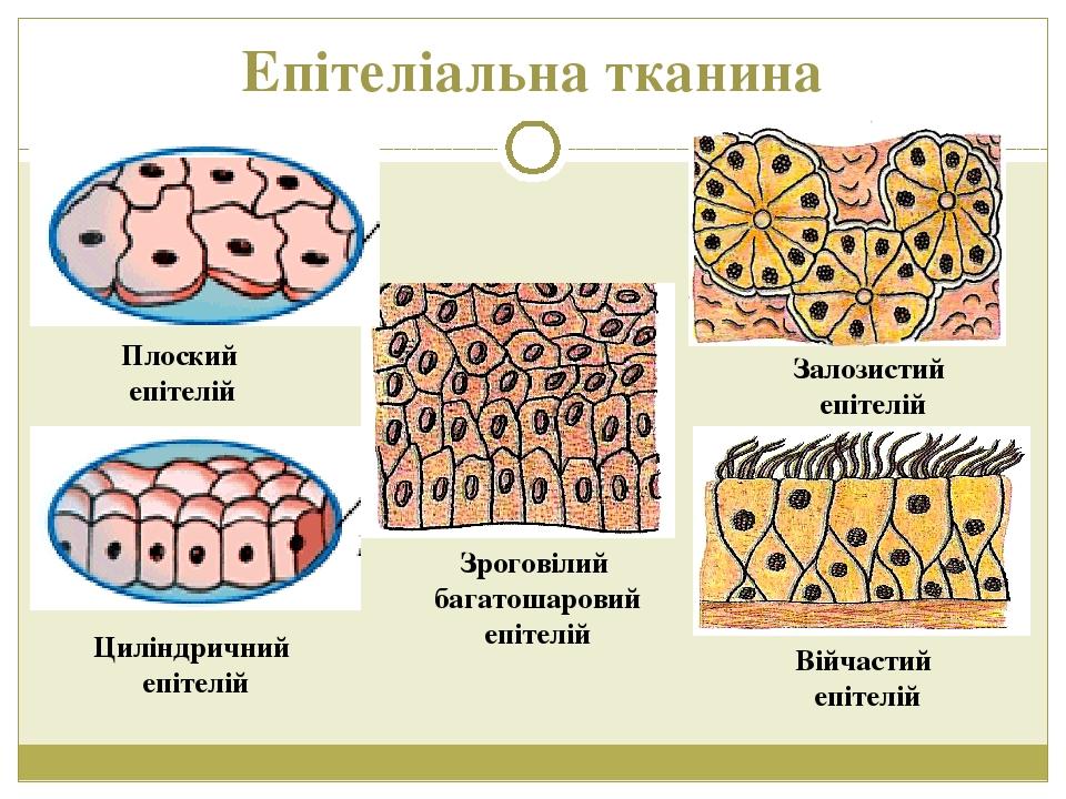 Епітеліальна тканина Залозистий епітелій Війчастий епітелій Зроговілий багатошаровий епітелій Плоский епітелій Циліндричний епітелій