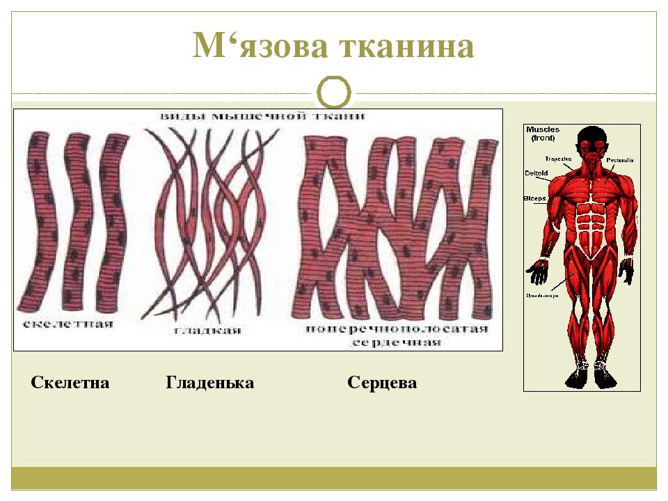 М'язова тканина Скелетна Гладенька Серцева