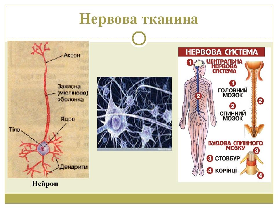 Нервова тканина Нейрон