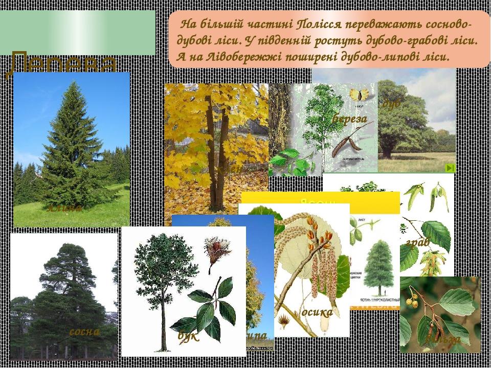Дерева береза дуб граб клен осика липа ялина сосна бук вільха На більшій частині Полісся переважають сосново-дубові ліси. У південній ростуть дубов...