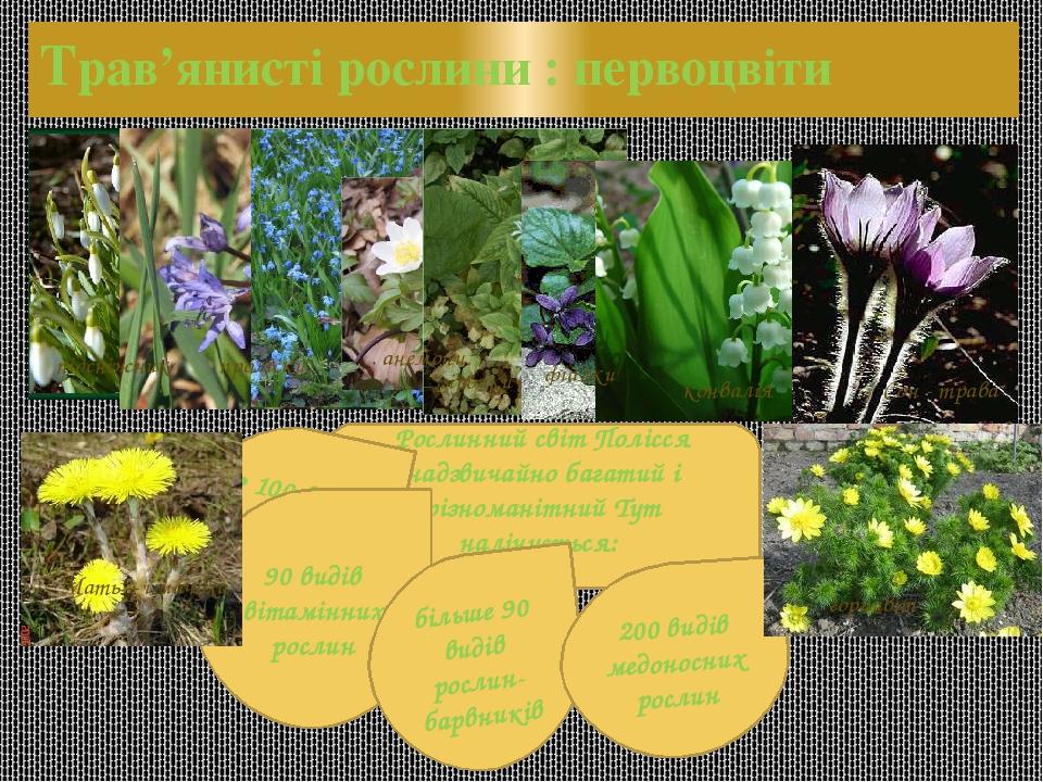 Трав'янисті рослини : первоцвіти Рослинний світ Полісся надзвичайно багатий і різноманітний Тут налічується: • 100 видів лікарських рослин; 90 виді...