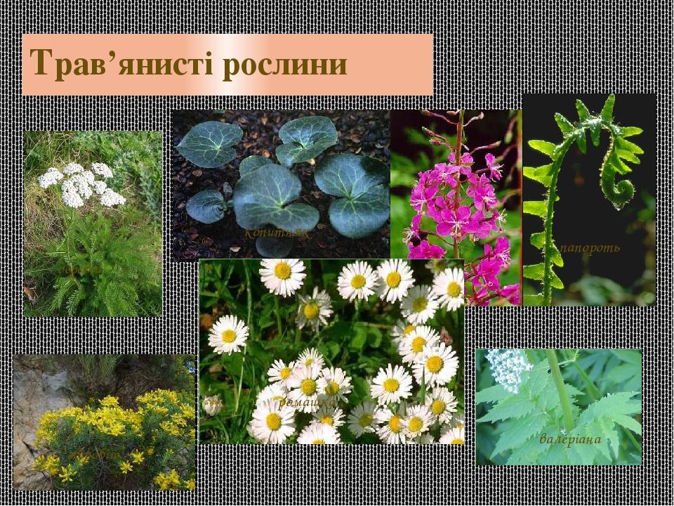 Трав'янисті рослини Іван - чай деревій копитняк ромашка звіробій валеріана папороть