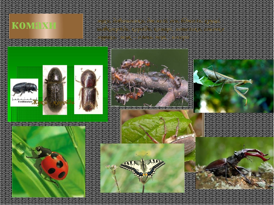 комахи Жуки - короїди мухи, довгоносики, джмелі, оси, бджоли, хрущі, шовкопряди, короїди, комарі, метелики, сонечко мурахи, жук – олень, жук - носоріг