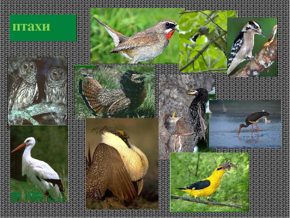 птахи соловей Сова сіра тетерев іволга глухар