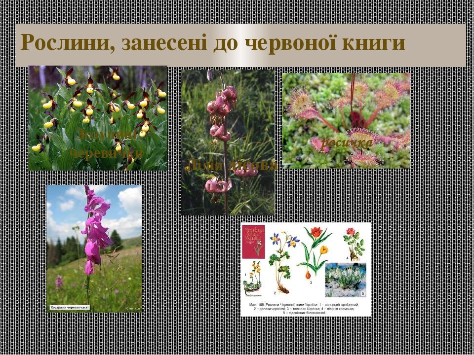 Рослини, занесені до червоної книги Зозулині черевички Лілія лісова росичка
