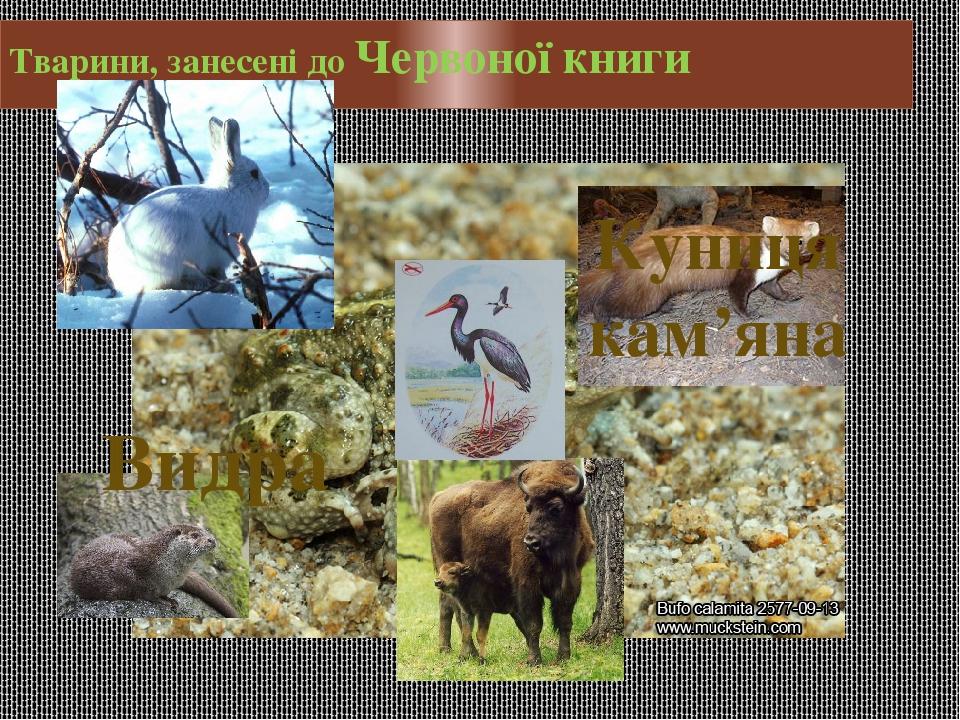Тварини, занесені до Червоної книги Куниця кам'яна Видра