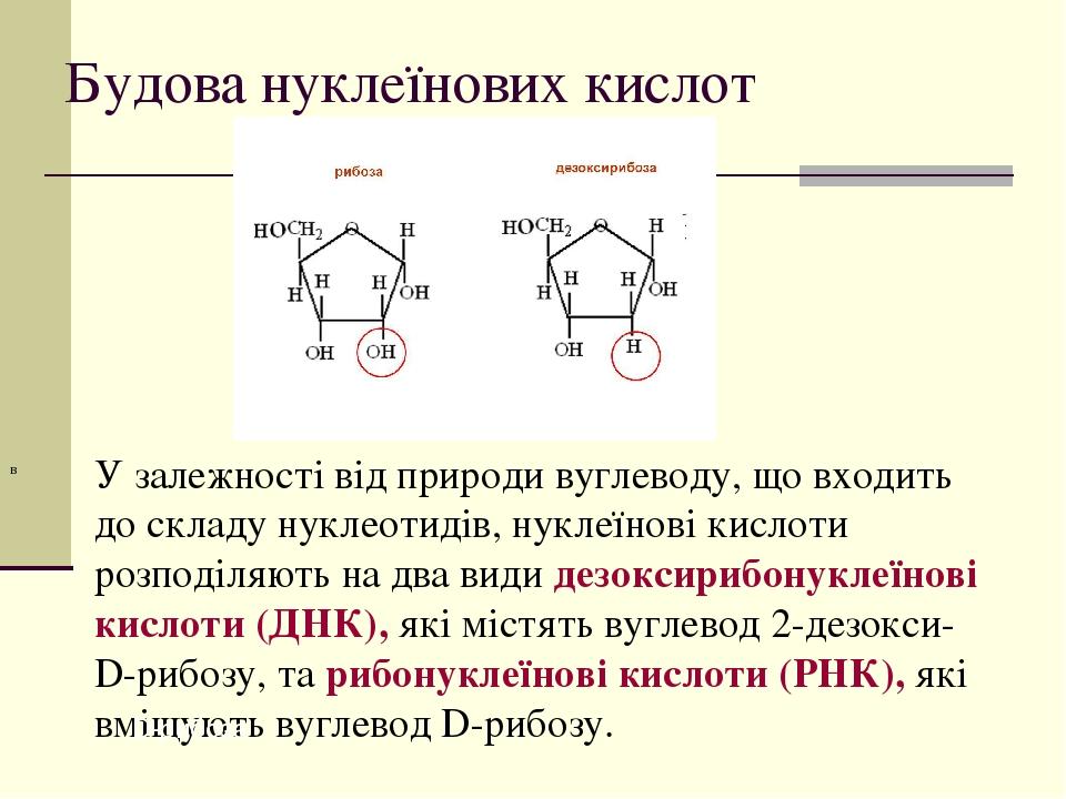 Будова нуклеїнових кислот У залежності від природи вуглеводу, що входить до складу нуклеотидів, нуклеїнові кислоти розподіляють на два види дезокси...