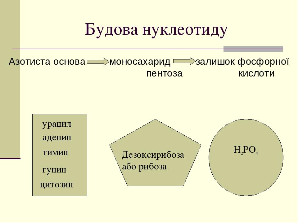 Будова нуклеотиду Азотиста основа моносахарид залишок фосфорної пентоза кислоти аденин тимин гунин цитозин Дезоксирибоза або рибоза H2PO4 урацил