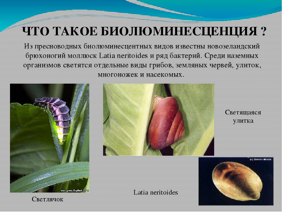 ЧТО ТАКОЕ БИОЛЮМИНЕСЦЕНЦИЯ ? Из пресноводных биолюминесцентных видов известны новозеландский брюхоногий моллюск Latia neritoides и ряд бактерий. Ср...