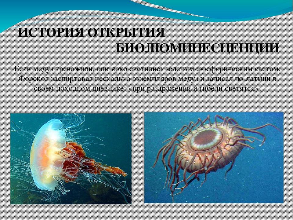 ИСТОРИЯ ОТКРЫТИЯ БИОЛЮМИНЕСЦЕНЦИИ Если медуз тревожили, они ярко светились зеленым фосфорическим светом. Форскол заспиртовал несколько экземпляров ...