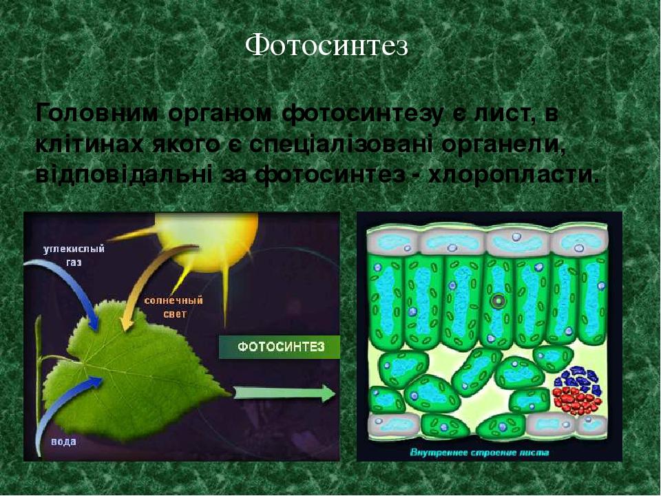 Головним органом фотосинтезу є лист, в клітинах якого є спеціалізовані органели, відповідальні за фотосинтез - хлоропласти. Фотосинтез