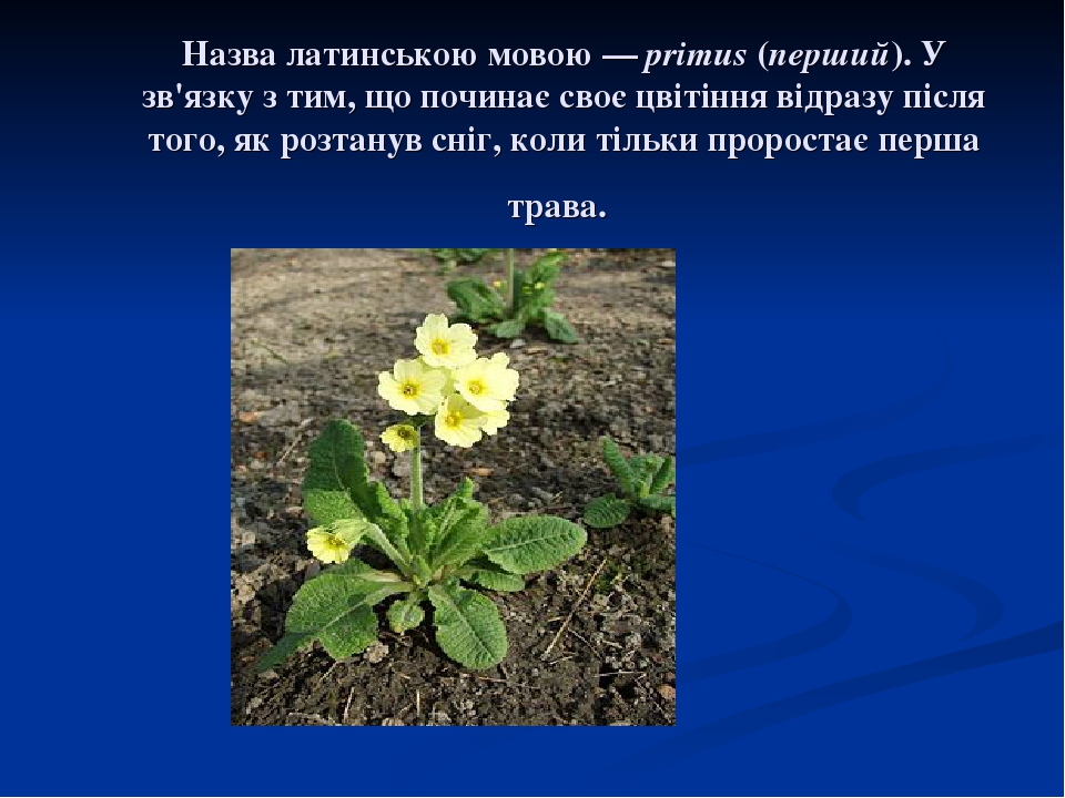 Назва латинською мовою— primus (перший). У зв'язку з тим, що починає своє цвітіння відразу після того, як розтанув сніг, коли тільки проростає пер...