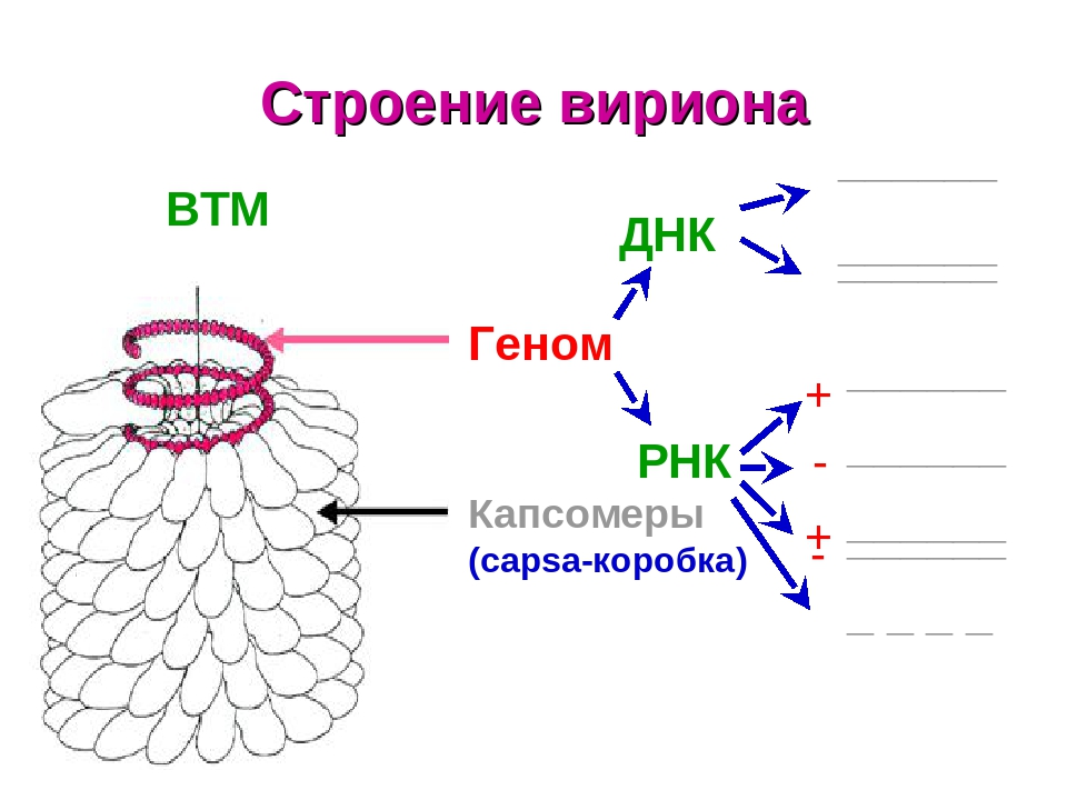 Строение вириона ВТМ Геном ДНК РНК Капсомеры (capsa-коробка) ______ ______ ______ ______ ______ ______ ______ + - + - _ _ _ _