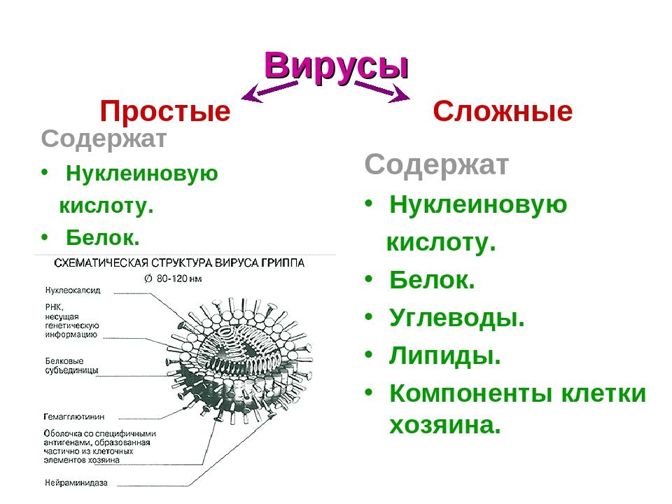 Вирусы Содержат Нуклеиновую кислоту. Белок. Простые Сложные Содержат Нуклеиновую кислоту. Белок. Углеводы. Липиды. Компоненты клетки хозяина.