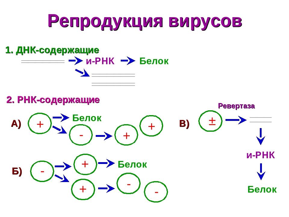 Репродукция вирусов ДНК-содержащие 2. РНК-содержащие ______ ______ + и-РНК Белок ______ ______ ______ ______ - Белок + + - + Белок - - + А) Б) В) ±...