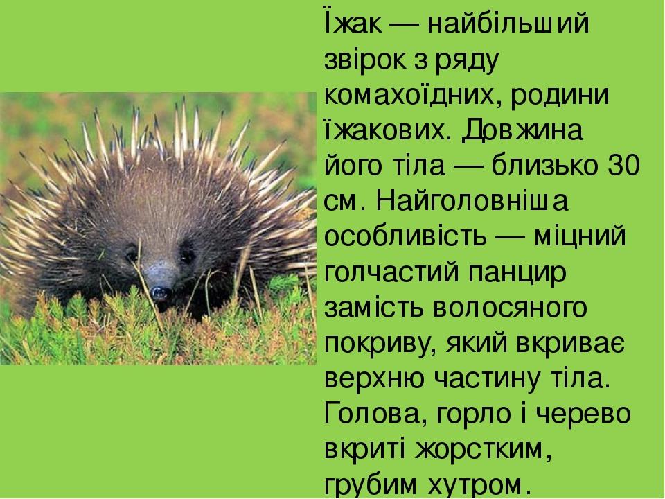 Їжак — найбільший звірок з ряду комахоїдних, родини їжакових. Довжина його тіла — близько 30 см. Найголовніша особливість — міцний голчастий панцир...