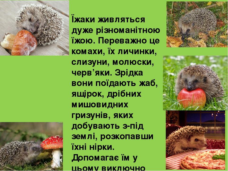 Їжаки живляться дуже різноманітною їжою. Переважно це комахи, їх личинки, слизуни, молюски, черв'яки. Зрідка вони поїдають жаб, ящірок, дрібних миш...