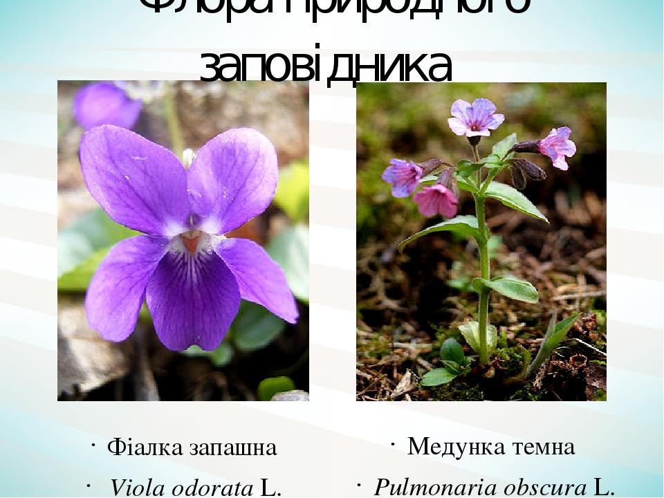 Фіалка запашна Viola odorata L. Медунка темна Pulmonaria obscura L. Флора природного заповідника