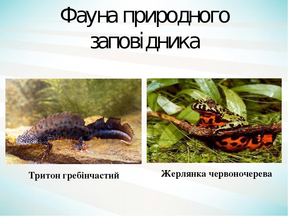 Тритон гребінчастий Жерлянка червоночерева Фауна природного заповідника