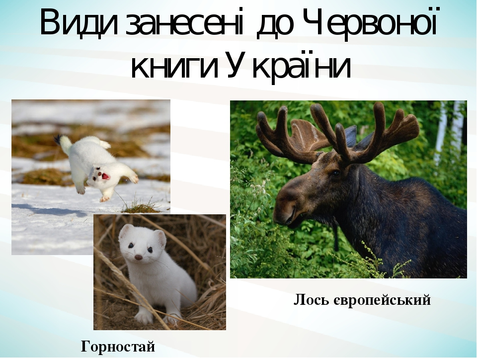 Лось європейський Горностай Види занесені до Червоної книги України