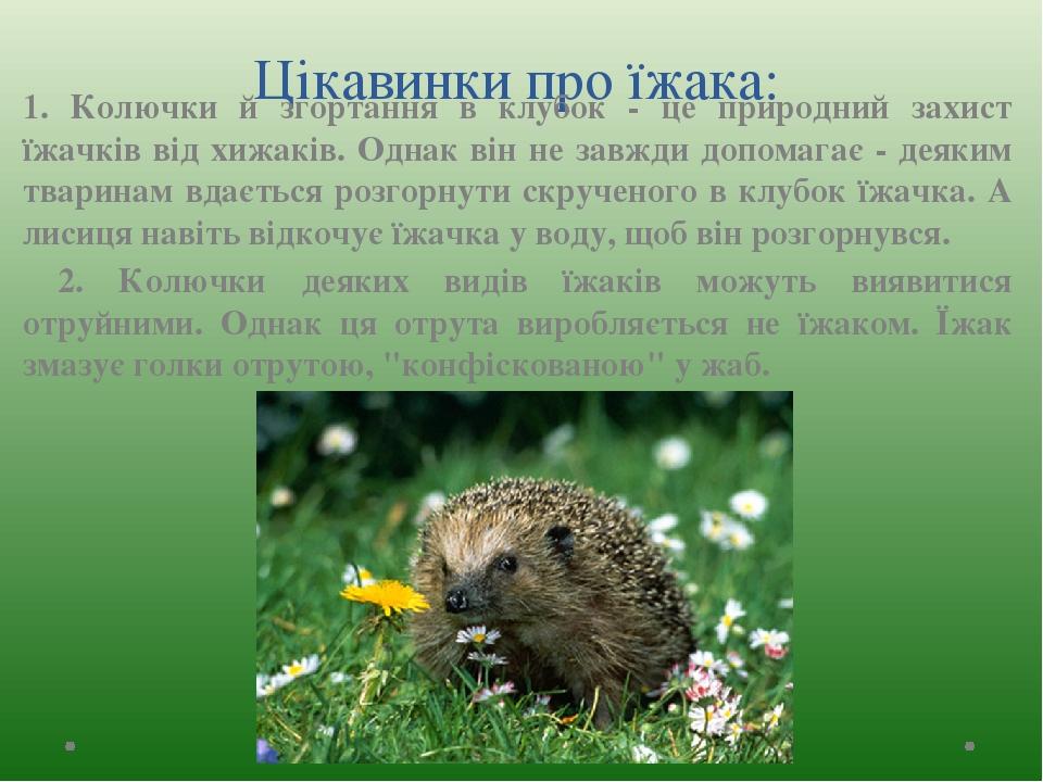 Цікавинки про їжака: 1. Колючки й згортання в клубок - це природний захист їжачків від хижаків. Однак він не завжди допомагає - деяким тваринам вда...