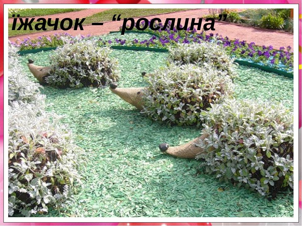 """їжачок – """"рослина"""""""