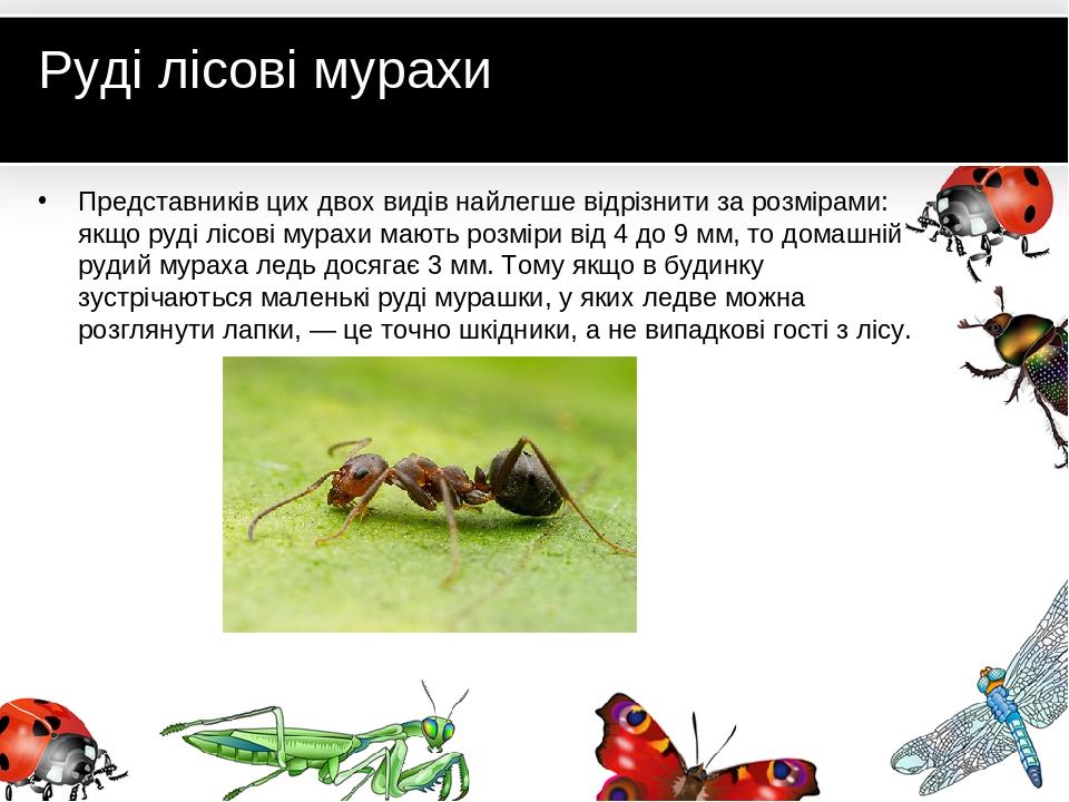 Руді лісові мурахи Представників цих двох видів найлегше відрізнити за розмірами: якщо руді лісові мурахи мають розміри від 4 до 9 мм, то домашній ...