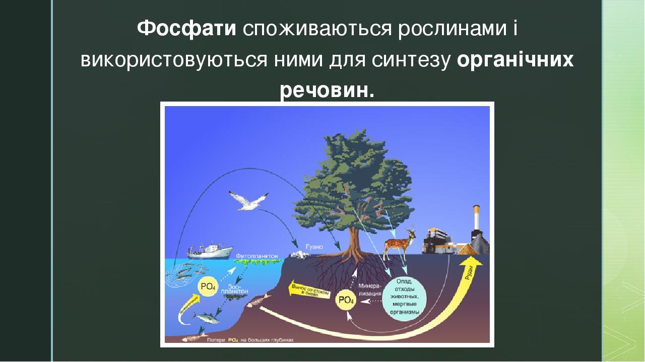 Фосфати споживаються рослинами і використовуються ними для синтезу органічних речовин. z