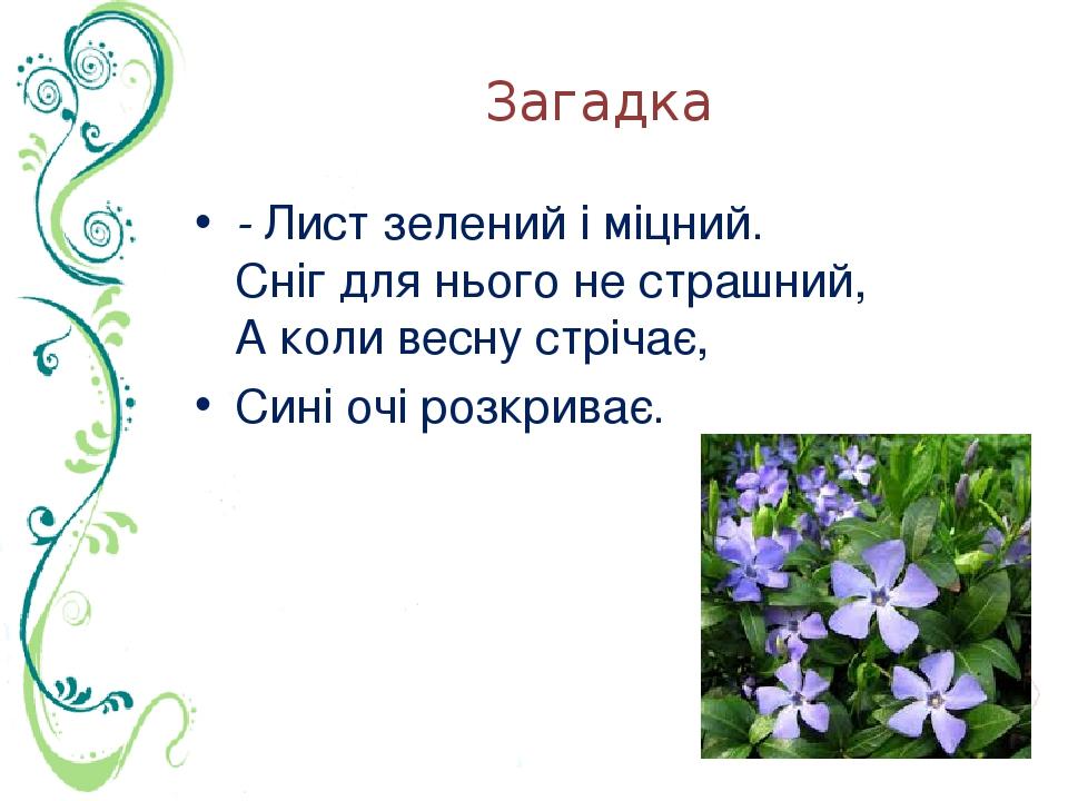 Загадка - Лист зелений і міцний. Сніг для нього не страшний, А коли весну стрічає, Сині очі розкриває.