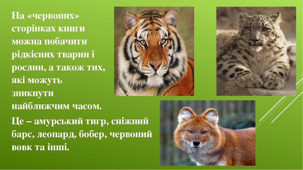 На «червоних» сторінках книги можна побачити рідкісних тварин і рослин, а також тих, які можуть зникнути найближчим часом. Це – амурський тигр, сні...